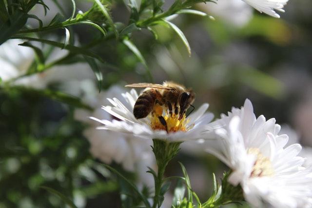 pyłek kwaitowy